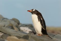 Close up of a Gentoo penguin standing on rocks Stock Photography