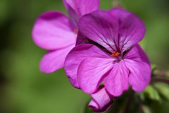 Geranium flower on green royalty free stock photo