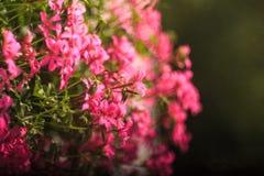Close up of geranium flowers Royalty Free Stock Photos