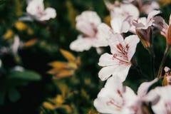 Close up geranium roses flowers stock photo