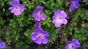 Geranium Rozanne, purple flowers in a park. Close up of Geranium Rozanne, purple flowers in a park. Perennial purple flowering Geranium Rozanne is a popular royalty free stock photo