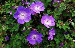 Geranium Rozanne, purple flowers in a park. Close up of Geranium Rozanne, purple flowers in a park. Perennial purple flowering Geranium Rozanne is a popular royalty free stock photos