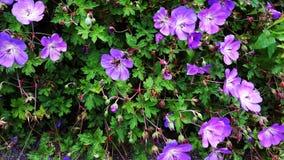 Geranium Rozanne, purple flowers in a park. Close up of Geranium Rozanne, purple flowers in a park. Perennial purple flowering Geranium Rozanne is a popular stock photos