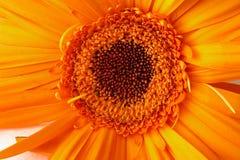 Close Up of a Gerber Daisy. Close Up of a Yellow Orange Gerber Daisy royalty free stock photos