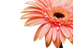 Close up of gerber daisy isolated. On the white Royalty Free Stock Photo