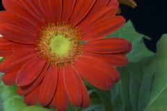 Close up of Gerbera daisy. Close up of a beautiful Gerbera daisy Stock Images