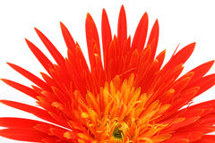 Close up of a gerbera flower Stock Photo