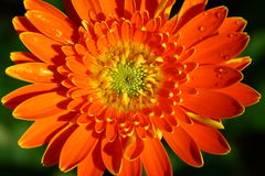 Close up gerbera flower in garden Stock Images