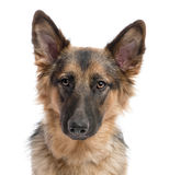 Close-up on german shepherd (11 months old) Stock Photos