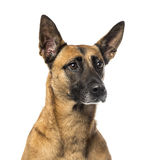 Close-up of a German Shepherd Stock Image