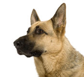 Close-up of German Shepherd, 9 years old Stock Images