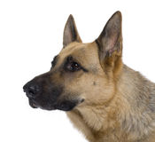 Close-up of German Shepherd, 9 years old Stock Photography
