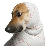 Close-up of German Shepherd in bandages Stock Image