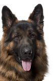 Close-up of German Shepherd Dog, 2 years old Stock Images