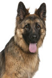 Close-up of German Shepherd Dog, 21 months old Stock Photo