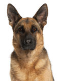 Close-up of German Shepherd Dog, 4 years old. In front of white background Stock Photography
