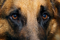 Close up of German Shepherd Dog eyes Stock Photos