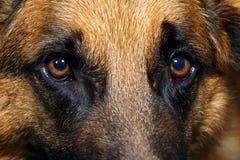 Close up of German Shepherd Dog eyes Stock Photos