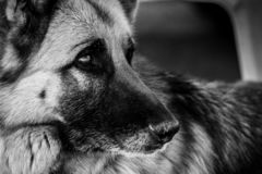 Close-up of german shepherd dog face. Pets portrait. Black and white natural portrait. Close-up of german shepherd dog face. Pets portrait. Black and white stock photo