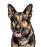 Close-up of a German Shepherd Dog, isolated Stock Image