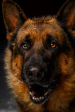 Close-up German shepherd. In full face with opened mouth Royalty Free Stock Image