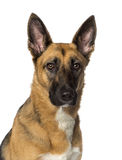 Close-up of a German shepherd Stock Images