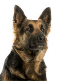 Close-up of a German shepherd looking away, 4 years old Stock Photography