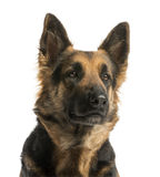 Close-up of a German shepherd looking away, 4 years old Royalty Free Stock Photos
