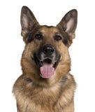 Close-up of German shepherd, panting Stock Images