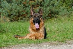 Close up of German Shepherd Portrait Royalty Free Stock Image