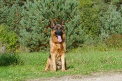 Close up of German Shepherd Portrait. On fence background Royalty Free Stock Image
