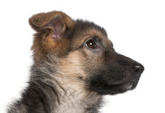 Close-up of German Shepherd puppy, 4 months old Stock Photos
