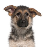 Close-up of German Shepherd puppy, 4 months old Stock Image