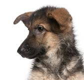 Close-up of German Shepherd puppy, 4 months old Royalty Free Stock Image