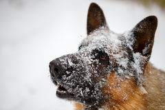 Close-up German shepherd with snout in snow. Close-up German shepherd  in snow with opened mouth Royalty Free Stock Photos