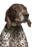 Close-up of German Shorthaired Pointer Stock Photo