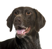 Close-up of German Shorthaired Pointer dog Stock Photo