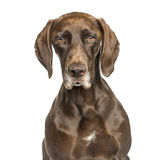 Close-up of German Shorthaired Pointer, isolated on white royalty free stock photography