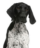 Close-up of German Shorthaired Pointer puppy Royalty Free Stock Images