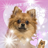 Close-up of a German Spitz, on heart background Stock Photography