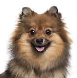 Close-up of German Spitz panting, 8 months old stock photography