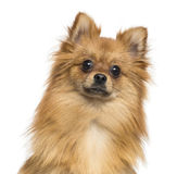Close-up of a German Spitz, 1 year old Stock Photos