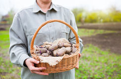 Close-up of germinating potatoes in basket in the woman farmer h. Ands on natural green background Stock Image