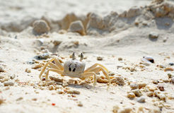 Close Up of a Ghost Crab Stock Image