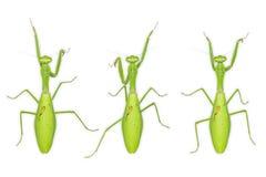 Giant Asian mantis Hierodula membranacea royalty free stock photography