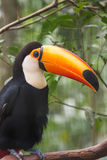 Close up of a giant colorful tucano Royalty Free Stock Photography