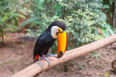 Close up of a giant colorful tucano. Close-up of a giant colorful tucano in Brazil Stock Images