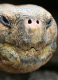 Close up Giant Galapagos Tortoise Stock Photo