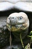 Close up Giant Galapagos Tortoise Stock Image
