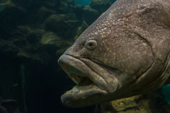 Close up Giant Grouper fish Royalty Free Stock Photo